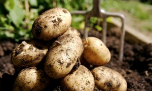 potatoes-mirto
